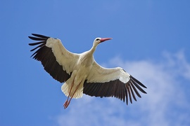 White stork is the national bird of Lithuania[160] and it has the highest-density stork population in Europe.[161]