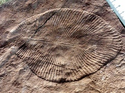 Dickinsonia costata from the Ediacaran biota (c. 635–542 MYA) is one of the earliest animal species known.[77]