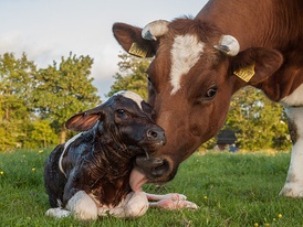 Several senses are used in social relationships among cattle.