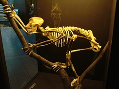 Reconstructed tailless Proconsul skeleton