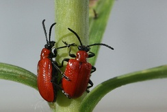 Scarlet lily beetles, Oxfordshire, UK