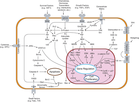 Overview of signal transduction pathways. Many of the proteins involved are kinases, including protein kinases (such as MAPK and JAK) and lipid kinases (such as PI3K).