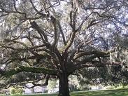 Spanish-moss-tree.jpg
