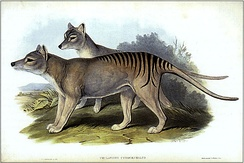 The Tasmanian tiger (Thylacinus cynocephalus) is an example of an extinct species.