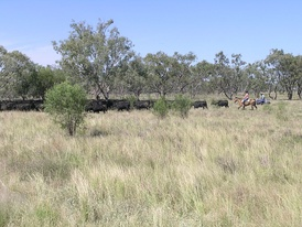 Modern droving on a Travelling Stock Route, Walgett, New South Wales