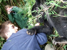 Young gorilla grabs tourist at Volcanoes National Park