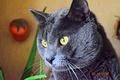 Сибирская голубая кошка (кот)