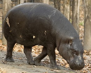 Pygmy hippos are among the species illegally hunted for food in Liberia.[34] The World Conservation Union estimates that there are fewer than 3,000 pygmy hippos remaining in the wild.[35]