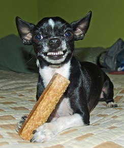 This Chihuahua is baring its teeth to signify an attack is imminent if the photographer comes closer to take his bone