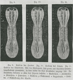 In 1868 Haeckel illustrated von Baer's observation that early embryos of different species could not be told apart by using the same woodcut three times as dog, chick and turtle embryos: he changed this in the next edition.