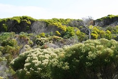 Fynbos at Cape Peninsula