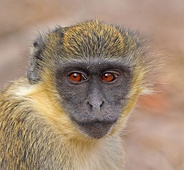 Gambia's wildlife, like this green monkey, attracts tourists
