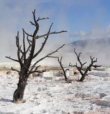 Мёртвые деревья на термальных источниках