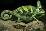 Veiled chameleon, Chamaeleo calyptratus, changes colour mainly in relation to mood and for signalling.