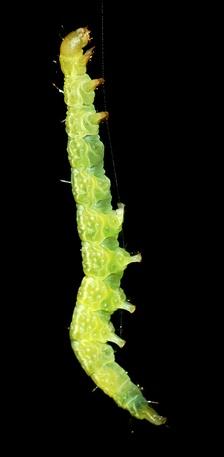 Гусеница, повисшая на шелковинке. Хорошо видны три пары грудных и пять пар брюшных ног.