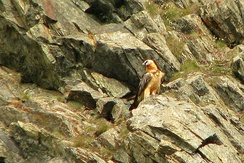 Bearded vulture on the rocks in Gran Paradiso National Park