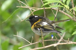 Male stitchbird or hihi (Notiomystis cincta) showing convergence with honeyeaters