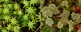 Dioicous gametophytes of the liverwort Marchantia polymorpha. In this species, gametes are produced on different plants on umbrella-shaped gametophores with different morphologies. The radiating arms of female gameteophores (left) protect archegonia that produce eggs. Male gametophores (right) are topped with antheridia that produce sperm.