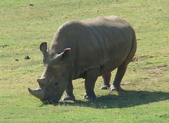Angalifu, a male northern white rhinoceros at the San Diego Zoo Safari Park (died December 2014).[122] Sudan, the last male of the subspecies died on March 19, 2018.[123]
