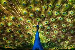 The apparently excessive eye-spot signalling by the male peacock tail may be runaway selection