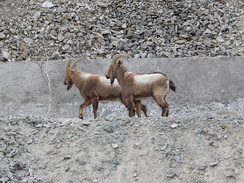 Siberian ibex (Capra sibirica) rarely come close to human settlements. This picture was taken near irrigation canal, Indus river.