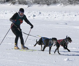 Dog skijoring—dogs provide added propulsion to the cross-country skier.
