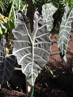 Sagittate leaves of an Alocasia plant