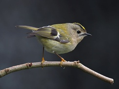 Tiny goldcrest (Regulus regulus) belongs to a minor but highly distinct lineage of Passeri