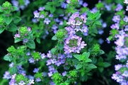 The essential oil of common thyme (Thymus vulgaris), contains the monoterpene thymol, an antiseptic and antifungal.[29]