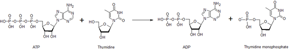 Overall reaction catalysed by thymidine kinase.