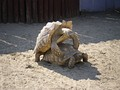 Pair of African spurred tortoises mate in a zoo