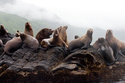 Sea lions on Moneron Island