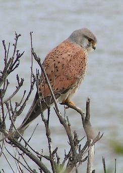 У пустельги, как и у других хищных птиц, очень низкая чувствительность к ультрафиолету