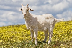 A two-month-old goat kid in a field of capeweed