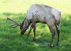 A bull elk in spring, shedding its winter coat and with its antlers covered in velvet
