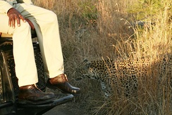 A female leopard in the Sabi Sands of South Africa near a game vehicle