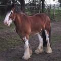 Лошадь породы клейдесдаль гнедо-пегой масти типа сабино