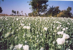 Poppy crop from the Malwa in India (probably Papaver somniferum var. album[1])