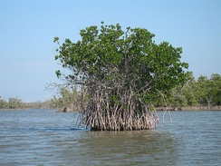 Red mangroves in Everglades National Park