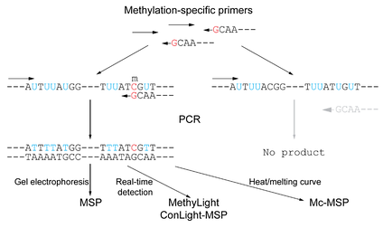 Figure 4: Methylation-specific PCR is a sensitive method to discriminately amplify and detect a methylated region of interest using methylated-specific primers on bisulfite-converted genomic DNA. Such primers will anneal only to sequences that are methylated, and thus containing 5-methylcytosines that are resistant to conversion by bisulfite. In alternative fashion, unmethylated-specific primers can be used.