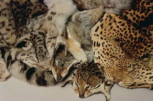 Confiscated animal pelts from the illegal wildlife trade.