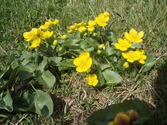 Marsh marigold (Caltha palustris) is common in the Faroe Islands during May and June.