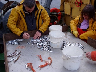Fisheries scientists sorting discards (mainly sprat, small herring and whiting) from targeted species (Nephrops norvegicus) in a trawl catch