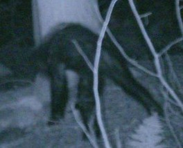 "A 2007 photo of an unidentified animal the Bigfoot Research Organization claims is a ""juvenile Sasquatch""[34]"
