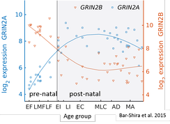 The timecourse of GluN2B-GluN2A switch in human cerebellum. Bar-Shira et al., 2015 [40]