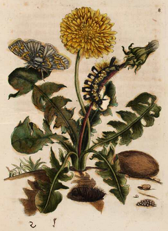 1679 hand coloured print by Maria Sibylla Merian of a dandelion as plant host to the pale tussock moth