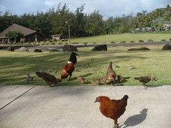 Some of Kauaʻi's feral chickens at Lydgate Beach Park