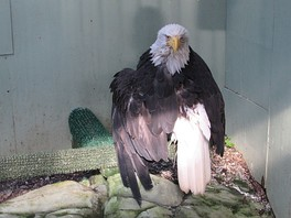 Lady Baltimore, a bald eagle in Alaska who survived a poaching attempt, in her Juneau Raptor Center mew, on 15 August 2015