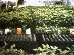 GTi's Aeroponic Growing System greenhouse facility, 1985
