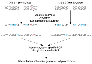 Figure 1: Outline of bisulfite conversion of sample sequence of genomic DNA. Nucleotides in blue are unmethylated cytosines converted to uracils by bisulfite, while red nucleotides are 5-methylcytosines resistant to conversion.